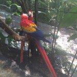 Macaw amore